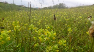 Yellow rattle – A wildflower meadow at Burdiehouse Burn Valley Park